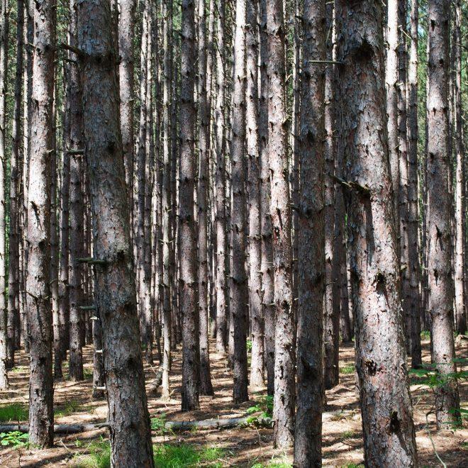 Inside a cedar forest